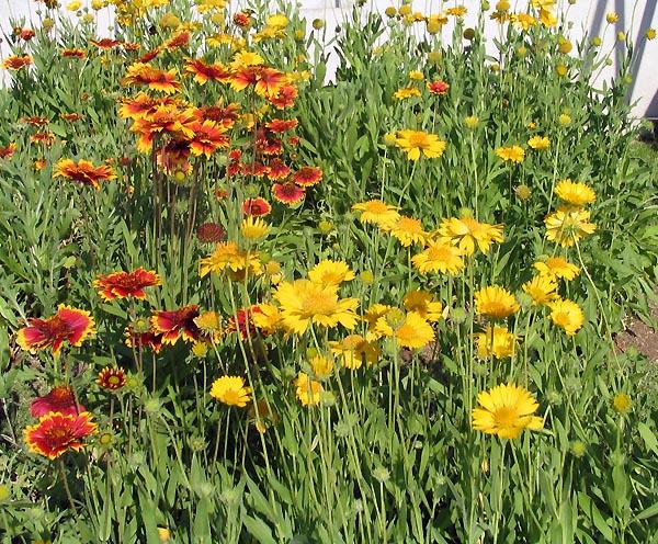 gaillardia aristata multnomah falls plant of the day 6 blanket flower kahoots